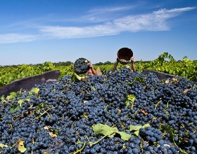 Урожай винограда на Кубани в 2015г. ожидается меньше на 16%