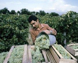 Больше 130 тысяч тонн винограда собрано в Дагестане