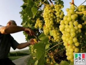 В Дагестане выполнен план уборки рекордного урожая по винограду