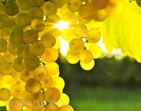 Виноградари Ставрополья ожидают урожай на уровне прошлого года