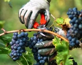 Кабмин принял нормы учета собранного и использованного для виноделия винограда