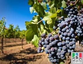 Свыше 570 гектаров новых кустов винограда заложили аграрии Дагестана