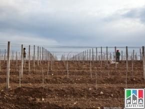 Дагестанские аграрии перевыполнили план по весенней закладке виноградников