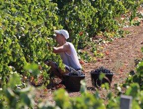 Подтопление территорий на Кубани может привести к гибели до 40% урожая винограда
