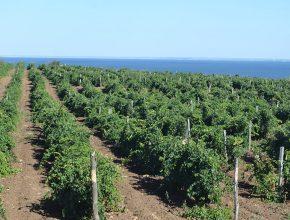 На поддержку виноградарства в Ростовской области выделили 37 млн рублей
