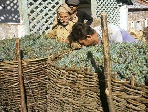 Урожай винограда в Грузии в 2016 г. снизился в 1,8 раза