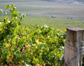 Реестр виноградников начнет действовать в России с 1 января 2017 года