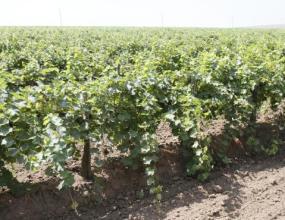 Аграрии Кубани в 2016г. увеличили площадь закладки виноградников на 35,2%