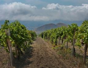 Эксперты: введение реестра виноградников даст дорогу на рынок РФ вину высшего качества