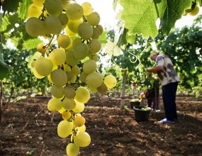 Что в бутылке. В России впервые появился реестр виноградников