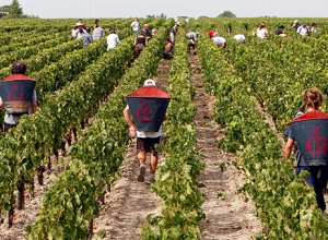 2016 урожай в Бордо – неожиданная удача
