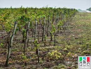 Аграрии Дагестана планируют увеличить площадь виноградников