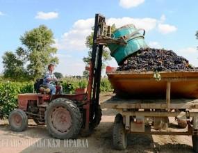 Урожай винограда на Ставрополье в 2019 году увеличился на 11%