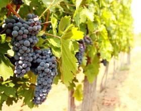 Объем рынка винограда в России в 2015 г. сократился в сравнении с 2014 годом на 16%