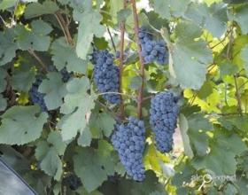 За три года объем господдержки виноградарства и виноделия в России вырос более чем в пять раз
