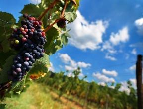 Эксперты: развитие крымского виноделия потребует изменения федеральных законов
