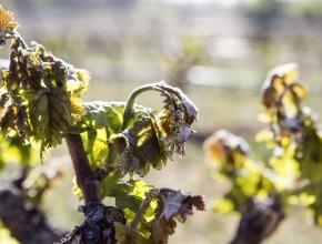Север Испании рискует остаться без урожая винограда