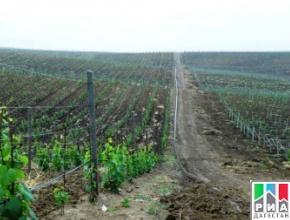 В Дагестане перевыполнили план по весенней закладке виноградников