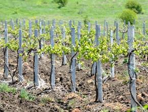 Площадь закладки виноградников в России выросла в 2 раза
