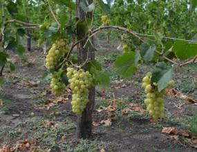 В 2016 году винограда на Ставрополье собрали больше на 87%