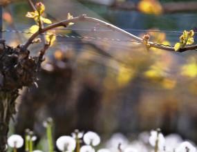 В Крым не пропустили 235 тыс. зараженных саженцев винограда из Италии