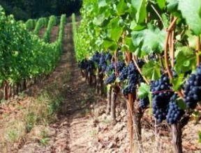 Молдова. Урожай винограда для производства вина увеличится на 10-15%