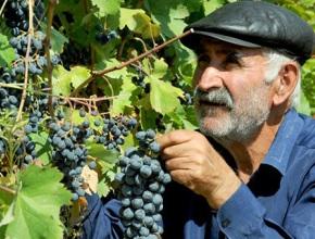 Коронавирус не помеха ртвели – правительство Грузии поможет сфере виноделия