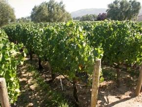На Ставрополье до 2025 года заложат более 600 га виноградников