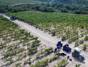 Мельче, но слаще: российские виноградари ждут хороший урожай вопреки капризам погоды