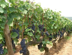 Первые итоги уборки винограда в Севастопольском регион