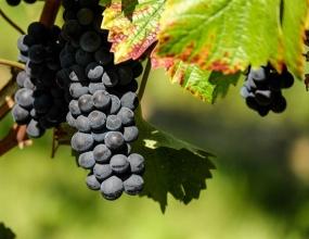 Уборка винограда продолжается в Темрюкском районе Кубани