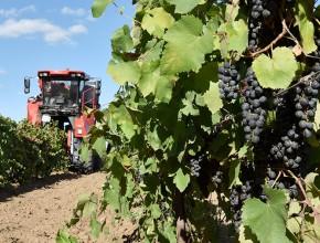 Господдержка снизила цены на виноград
