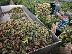 Эксперт: развивать виноградарство на Юге России возможно за счет привлечения фермеров