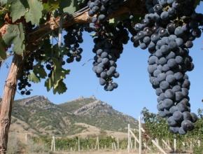 Валовый сбор винограда на начало ноября в Крыму составил более 50 тыс тонн