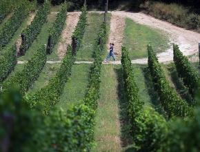 Краснодарский край планирует сохранить закладку виноградников на уровне 1,6 тыс. га в 2018 году