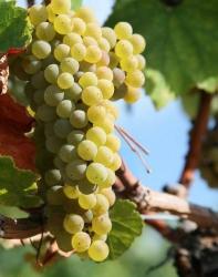 Вино Армении. Основные сорта винограда. ФОТО