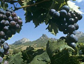"""""""Массандра"""" высадит клоны сортов винограда полувековой давности"""