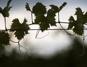 В Крыму сожгли 58 тыс заразных саженцев винограда из Италии