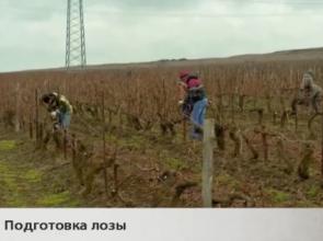 Лидерами по закладке виноградников стали Темрюкский район и Анапа