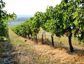 На Кубани появилась географическая зона для производства вин «Сенная»