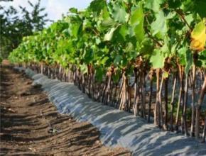 В Крыму построят питомник по выращиванию саженцев винограда