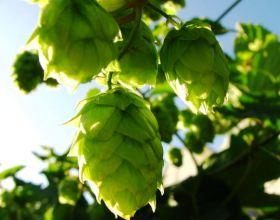 Ученые сварили хмельное пиво без хмеля