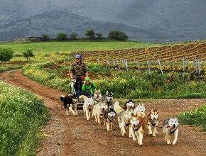 Испания. В Арагоне туристам предлагают экскурсии по виноградникам на собачьих упряжках