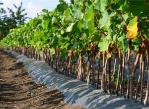 В Госдуму внесли законопроект о поддержке виноделов в закупке импортных саженцев