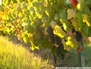 В виноградники Молдовы инвестируют 400 000 долларов